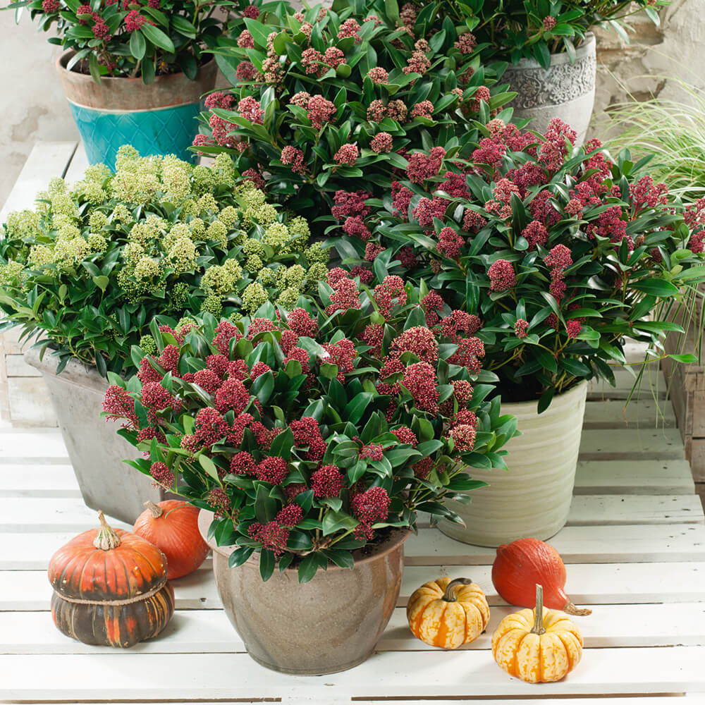 skimmia_resized